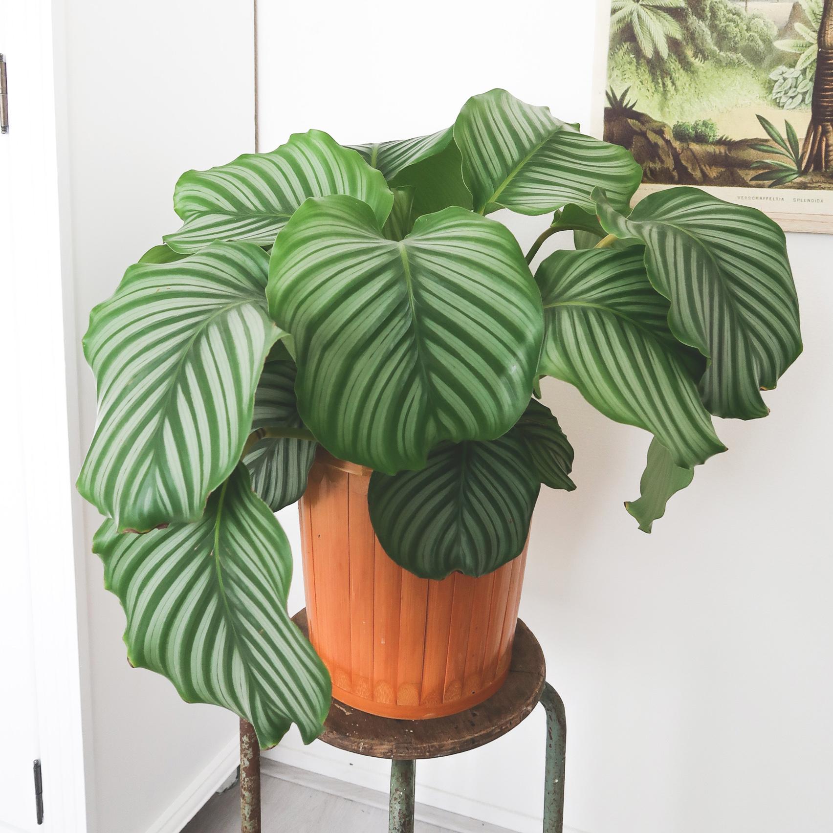 calatheaorbifolia